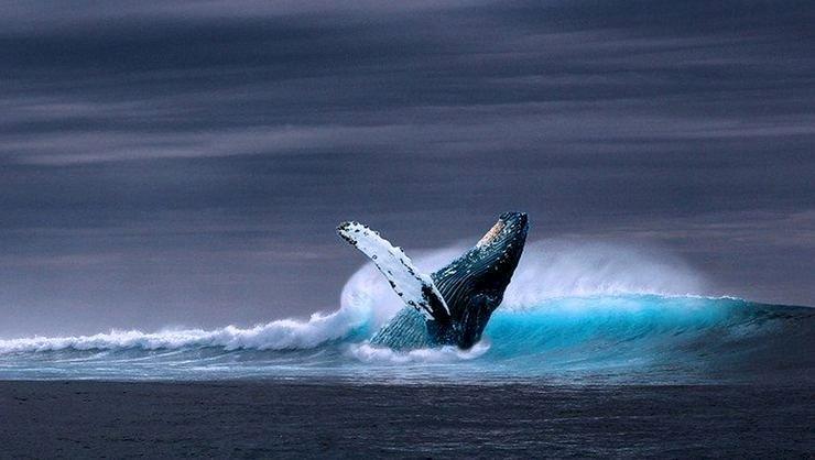Balinalar 40 Yıl Sonra Kutup Bölgelerine Dönüyor