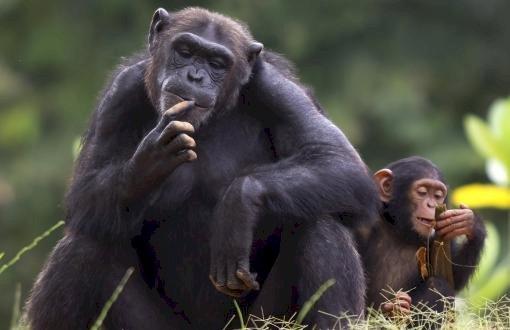 Maymunlara COVID-19 Bulaşmasının İlk Onaylanmış Vakası